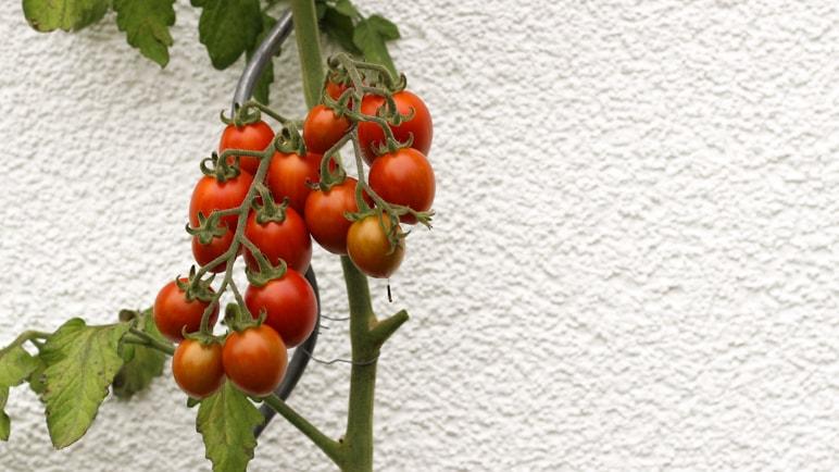 Kleine Cocktailtomaten geben in unserem Gemüsegarten auch aus Töpfen eine gute Ernte